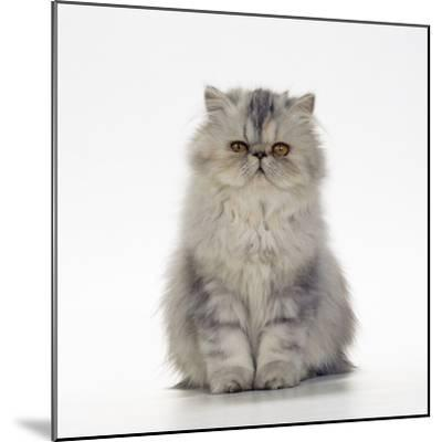 Persian Tortoiseshell Cameo Kitten--Mounted Photographic Print
