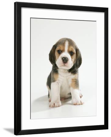 English Beagle Puppy Sitting--Framed Photographic Print