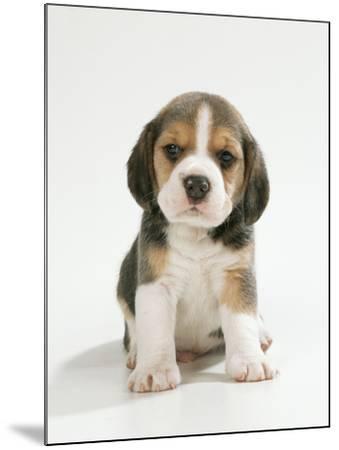 English Beagle Puppy Sitting--Mounted Photographic Print