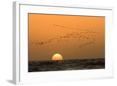 Flamingo Flock in Flight at Sunset over the Atlantic--Framed Photographic Print