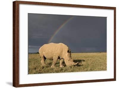 Southern White Rhinoceros Feeding with Rainbow--Framed Photographic Print
