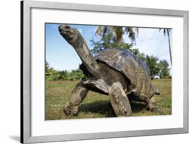 Aldabra Giant Tortoise--Framed Photographic Print
