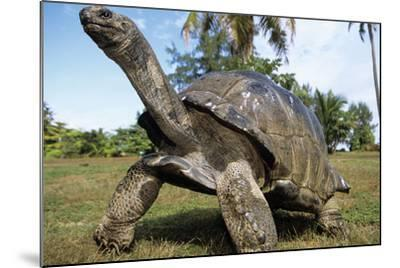 Aldabra Giant Tortoise--Mounted Photographic Print