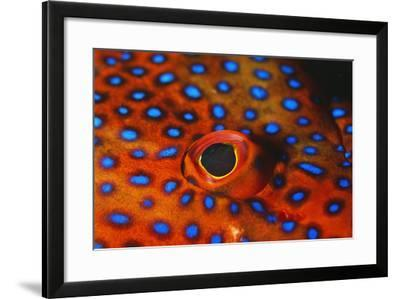 Coral Grouper, Close Up of Eye--Framed Photographic Print