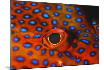 Coral Grouper, Close Up of Eye--Mounted Photographic Print