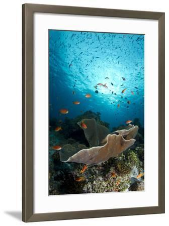 Cup Coral and Scalefin Anthias--Framed Photographic Print