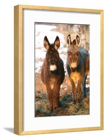 Poitou Donkey and Normal Donkey (On Right) Facing Camera--Framed Photographic Print