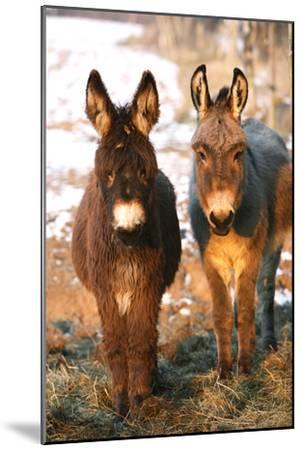 Poitou Donkey and Normal Donkey (On Right) Facing Camera--Mounted Photographic Print