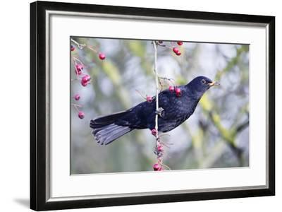 Common Blackbird Hanging from Hawthorn Bush--Framed Photographic Print