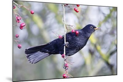 Common Blackbird Hanging from Hawthorn Bush--Mounted Photographic Print
