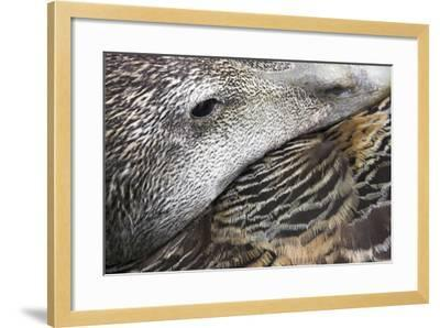 Common Eider Duck Female, Close-Up of Eye And--Framed Photographic Print