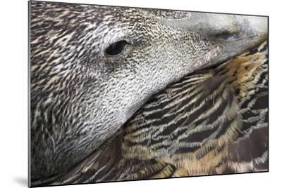 Common Eider Duck Female, Close-Up of Eye And--Mounted Photographic Print