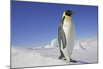 Emperor Penguin Adult--Mounted Photographic Print