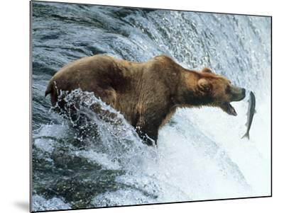 Brown Bear Catching a Fish--Mounted Photographic Print