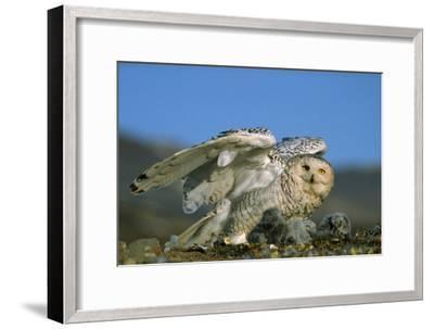 Snowy Owl with Chicks--Framed Photographic Print