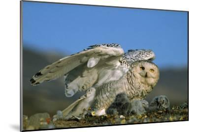Snowy Owl with Chicks--Mounted Photographic Print