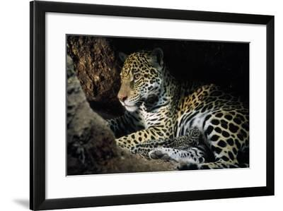 Jaguar Female, with 2 Day Old Cub in Forest Floor--Framed Photographic Print