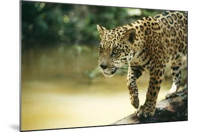 Jaguar Sub-Adult Male Crossing River on Log--Mounted Photographic Print