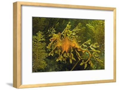 Leafy Sea Dragon--Framed Photographic Print