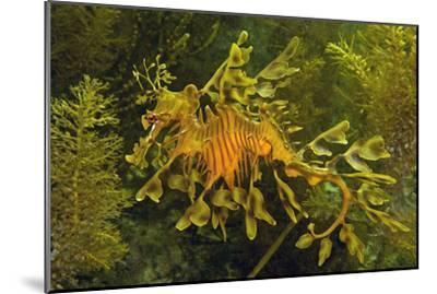 Leafy Sea Dragon--Mounted Photographic Print
