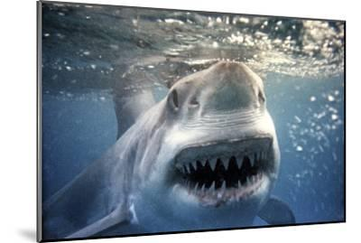 Great White Pointer Shark--Mounted Photographic Print