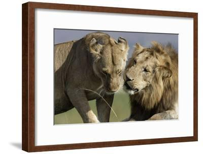 Lion Male and Female--Framed Photographic Print