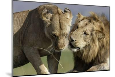 Lion Male and Female--Mounted Photographic Print