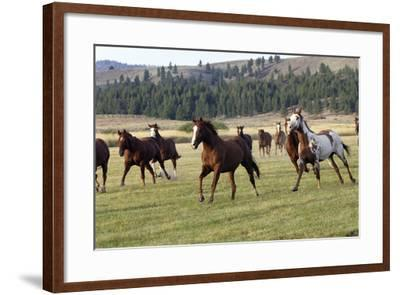 Quarter, Paint Horses Running--Framed Photographic Print