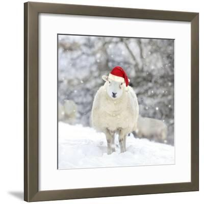 Sheep Texel Ewe in Snow Wearing Christmas Hat--Framed Photographic Print