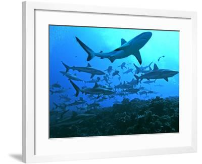 Grey Reef Sharks Swimming into the Fakarava Lagoon--Framed Photographic Print