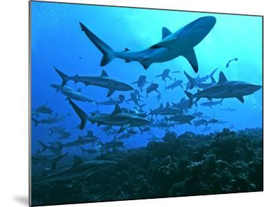 Grey Reef Sharks Swimming into the Fakarava Lagoon--Mounted Photographic Print