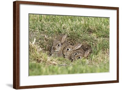 Wild Rabbits Young--Framed Photographic Print