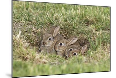 Wild Rabbits Young--Mounted Photographic Print