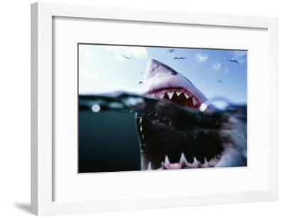 Great White Pointer Shark--Framed Photographic Print