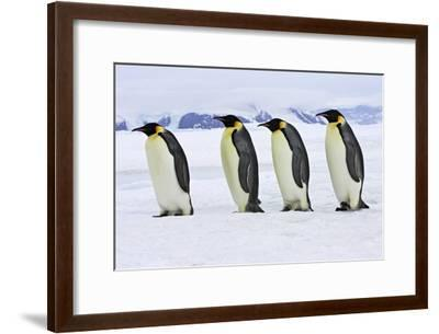 Emperor Penguin Four Adults Walking across Ice--Framed Photographic Print