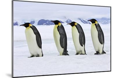 Emperor Penguin Four Adults Walking across Ice--Mounted Photographic Print