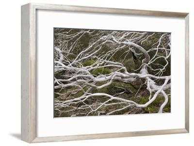 Snow Gum a Windswept and by Fire Damaged Snow--Framed Photographic Print