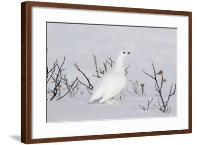 White-Tailed Ptarmigan Male in Snow--Framed Photographic Print