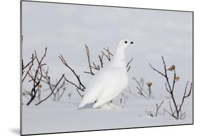 White-Tailed Ptarmigan Male in Snow--Mounted Photographic Print