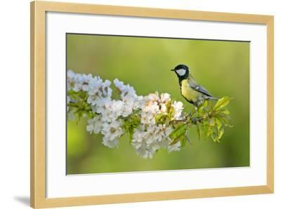 Great Tit Sitting on Blooming Cherry Tree Twig--Framed Photographic Print