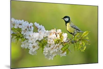Great Tit Sitting on Blooming Cherry Tree Twig--Mounted Photographic Print