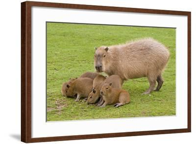 Capybara with Young--Framed Photographic Print