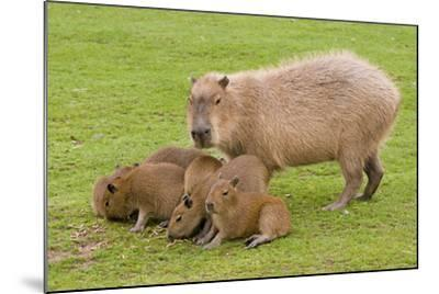 Capybara with Young--Mounted Photographic Print