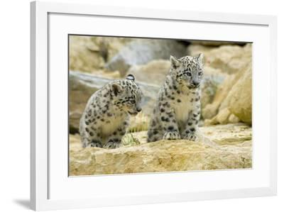 Snow Leopards Cubs--Framed Photographic Print