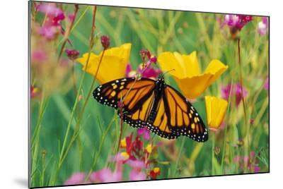 Milkweed Butterfly on California--Mounted Photographic Print