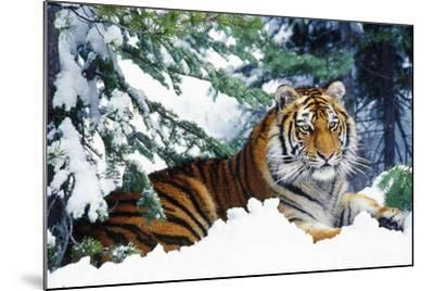 Siberian Tiger Endangered Species--Mounted Photographic Print