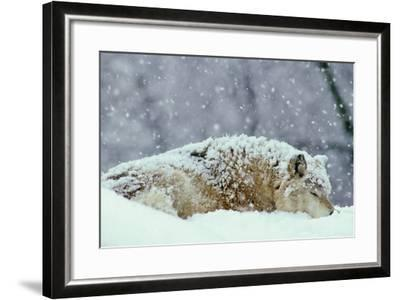 Grey Wolf Resting During Heavy Snow--Framed Photographic Print