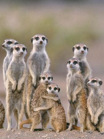 Meerkat Family with Young on the Lookout--Photographic Print