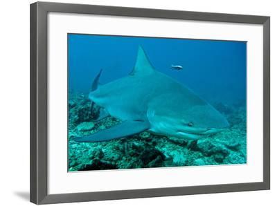 Bull Shark--Framed Photographic Print