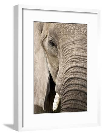 African Elephant--Framed Photographic Print